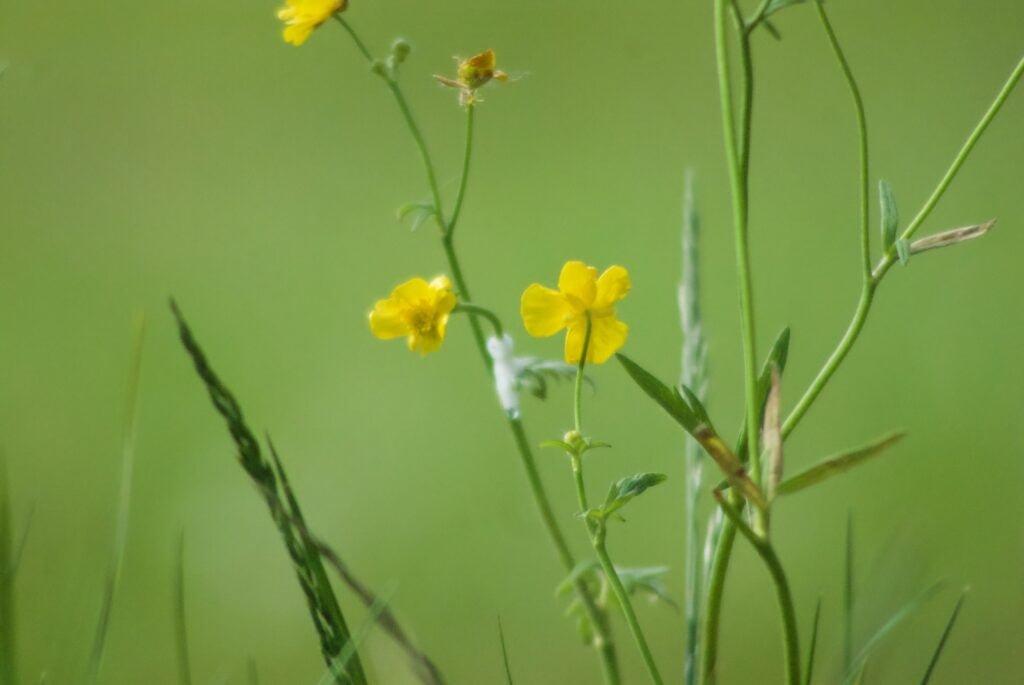weide bloem